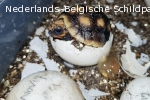 Kolenbrander landschildpad (Geochelone carbonaria)