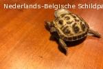 Testudo horsfieldii (vierteenlandschildpad)